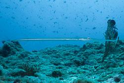 BD-150425-Maldives-8533-Fistularia-commersonii.-Rüppell.-1838-[Bluespotted-cornetfish].jpg